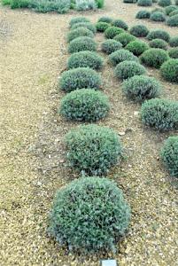 Lavender Care Downderry Nursery