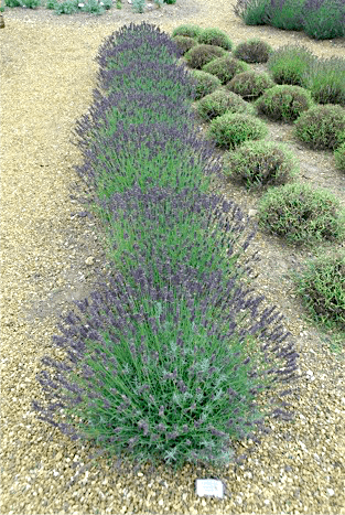 Lavender Seeds Buy Can Be Fun For Anyone